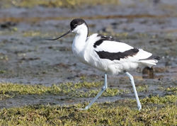Avocet photographed at Colin Best NR [CNR] on 3/3/2018. Photo: © Anthony Loaring