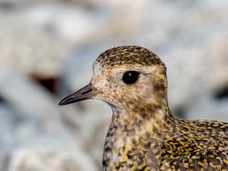 Golden Plover photographed at Shingle Bank [SHI] on 4/3/2018. Photo: © Andy Marquis