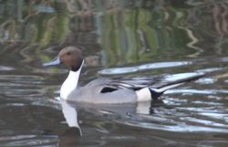 Pintail photographed at Rose Farm, Alderney on 3/3/2018. Photo: © John Horton