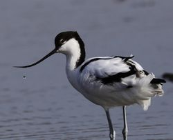 Avocet photographed at Colin Best NR [CNR] on 5/3/2018. Photo: © Julie Davis