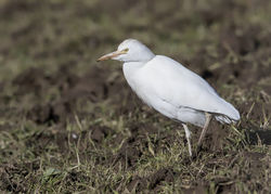 Cattle Egret photographed at Steam Mill Lane, STM on 7/3/2018. Photo: © Anthony Loaring