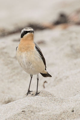 Wheatear photographed at Jaonneuse [JAO] on 12/3/2018. Photo: © Rod Ferbrache