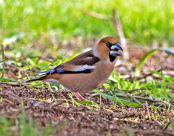 Hawfinch photographed at Foulon [FOU] on 16/3/2018. Photo: © Mike Cunningham