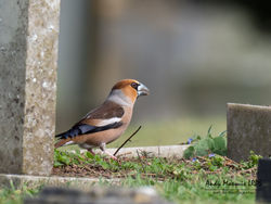 Hawfinch photographed at Foulon [FOU] on 16/3/2018. Photo: © Andy Marquis