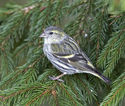Siskin photographed at St Peter Port [SPP] on 23/3/2018. Photo: © Mike Cunningham