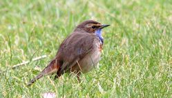 Bluethroat photographed at Mannez Lighthouse on 24/3/2018. Photo: © Sandy Robertson