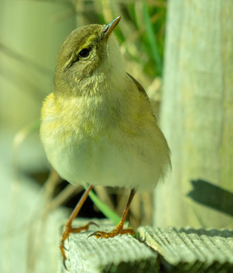 Willow Warbler photographed at Claire Mare [CLA] on 5/4/2018. Photo: © Phil Alexander