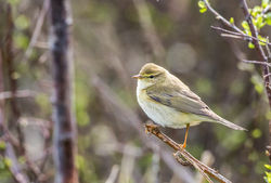 Willow Warbler photographed at claire mare on 5/4/2018. Photo: © berni kerrigan