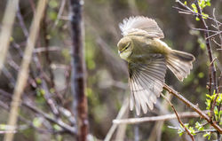Willow Warbler photographed at Claire Mare [CLA] on 5/4/2018. Photo: © berni kerrigan