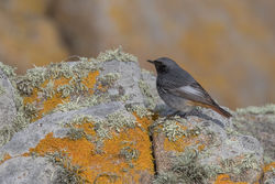 Black Redstart photographed at Select location on 5/4/2018. Photo: © Rod Ferbrache