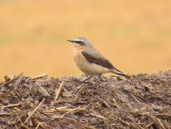 Wheatear photographed at Rue des Hougues, STA [H04] on 8/4/2018. Photo: © Wayne Turner