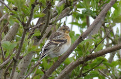 Brambling photographed at Route de Carteret on 10/4/2018. Photo: © Judy Down