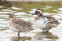 Garganey photographed at Claire Mare [CLA] on 12/4/2018. Photo: ©  Rockdweller