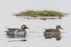 Garganey photographed at Claire Mare [CLA] on 12/4/2018. Photo: © Rod Ferbrache