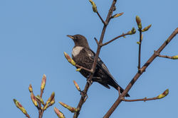 Ring Ouzel photographed at Herm [HER] on 18/4/2018. Photo: © Rod Ferbrache