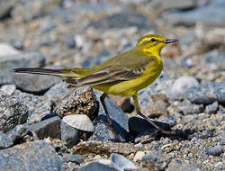 Yellow Wagtail photographed at Fort Le Crocq [FLC] on 19/4/2018. Photo: © Mike Cunningham