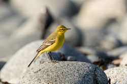 Yellow Wagtail photographed at Chouet [CHO] on 20/4/2018. Photo: © Rod Ferbrache