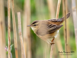 Sedge Warbler photographed at Claire Mare [CLA] on 28/4/2018. Photo: © Andy Marquis