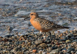 Knot photographed at Shingle Bank [SHI] on 26/5/2018. Photo: © Anthony Loaring