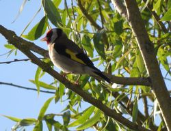 Goldfinch photographed at Garden at Home  on 21/6/2018. Photo: © Sue De Mouilpied