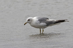 Common Gull photographed at L'Eree [LER] on 30/6/2018. Photo: © Anthony Loaring