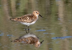 Little Stint photographed at Claire Mare [CLA] on 2/8/2018. Photo: © Anthony Loaring