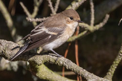 Pied Flycatcher photographed at Fort Hommet [HOM] on 3/8/2018. Photo: © Rod Ferbrache