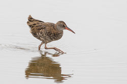 Water Rail photographed at Claire Mare [CLA] on 22/8/2018. Photo: © Rod Ferbrache