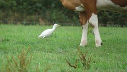 Cattle Egret photographed at Rue a Fresnes, Castel on 28/8/2018. Photo: © Tony Bisson