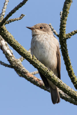 Spotted Flycatcher photographed at Pleinmont [PLE] on 3/9/2018. Photo: © Rod Ferbrache