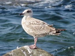 Herring Gull photographed at Chouet on 5/9/2018. Photo: © Wayne Turner