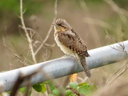 Wryneck photographed at Mt. Herault [MHE] on 2/9/2018. Photo: © Mark Guppy