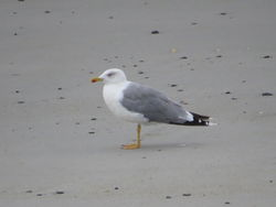 Yellow-legged Gull photographed at L'Eree [LER] on 2/9/2018. Photo: © Mark Guppy