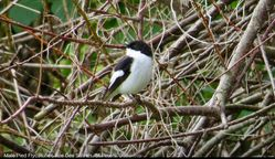 Pied Flycatcher photographed at Les Vicheris [VI3] on 10/4/2018. Photo: © Mark Guppy