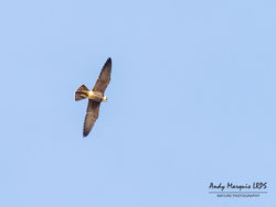 Hobby photographed at Pleinmont [PLE] on 29/9/2018. Photo: © Andy Marquis