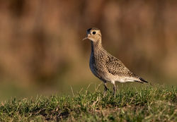 Golden Plover photographed at Pleinmont [PLE] on 8/10/2018. Photo: © Anthony Loaring