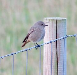 Black Redstart photographed at Pleinmont [PLE] on 18/10/2018. Photo: © Mark Guppy