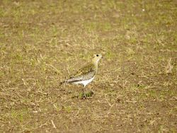 Golden Plover photographed at Mt. Herault [MHE] on 18/10/2018. Photo: © Mark Guppy