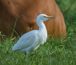 Cattle Egret photographed at Rue des Bergers [BER] on 1/11/2018. Photo: © Dave Carre