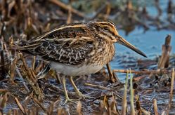 Jack Snipe photographed at Claire Mare [CLA] on 3/11/2018. Photo: ©  Rockdweller