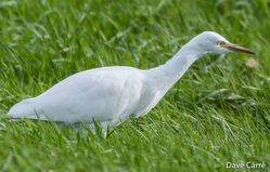 Cattle Egret photographed at Rue des Bergers [BER] on 8/11/2018. Photo: © Dave Carre