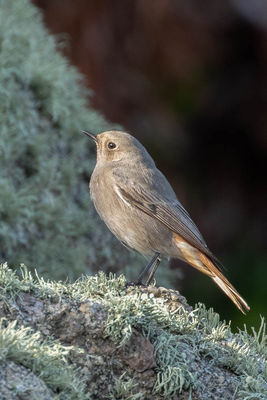Black Redstart photographed at Shingle Bank [SHI] on 12/11/2018. Photo: © Rod Ferbrache