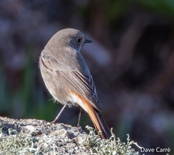 Black Redstart photographed at Shingle Bank [SHI] on 12/11/2018. Photo: © Dave Carre