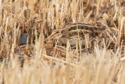 Jack Snipe photographed at Rue des Bergers [BER] on 19/11/2018. Photo: © Rod Ferbrache
