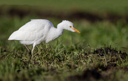 Cattle Egret photographed at Rue des Bergers [BER] on 20/12/2018. Photo: © Anthony Loaring