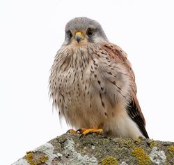 Kestrel photographed at Rocquaine [ROC] on 21/1/2019. Photo: © Rod Ferbrache
