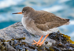 Redshank photographed at QE2 Marina [QE2] on 28/1/2019. Photo: © Dave Carre