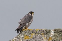 Peregrine photographed at Select location on 30/1/2019. Photo: © Rod Ferbrache
