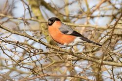 Bullfinch photographed at Garenne [GAR] on 12/2/2019. Photo: © Rod Ferbrache