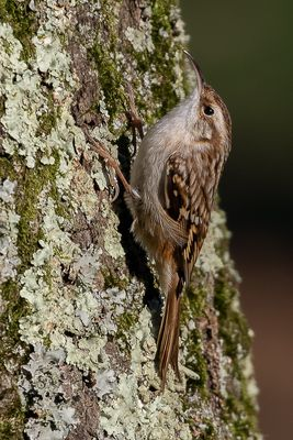 Short-toed Treecreeper photographed at Saumarez Park [SAU] on 15/2/2019. Photo: © Rod Ferbrache